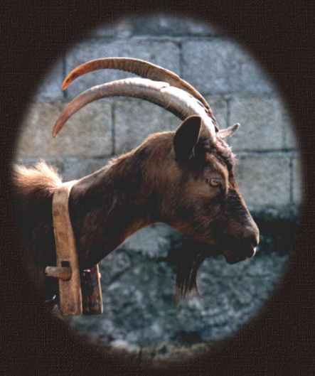 � 2002 photo by Carmen Ezgeta: Koza - The Goat - Die Ziege ( Pore� )